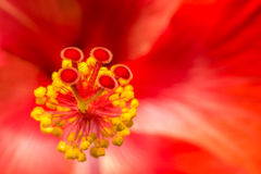Closeup av hibiskusblomman Arkivbild