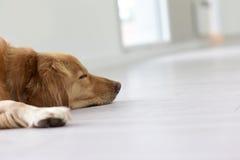 Closeup av hunden som sover på golvet arkivfoto