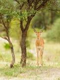 Closeup av impalan i Tanzania arkivfoton