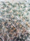 Closeup av kaktusväxten Arkivbilder