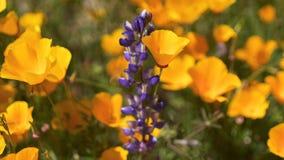 Closeup av Kalifornien den guld- vallmo och Rocket Larkspur Lilac Spire fotografering för bildbyråer