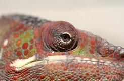 Closeup av kameleonten Royaltyfri Bild