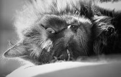 Closeup av katten Arkivfoton