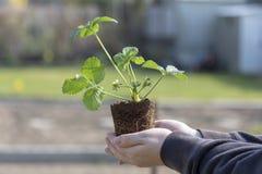 Closeup av kvinnahänder som planterar plantan för yang blomningjordgubbe i trädgården royaltyfri foto