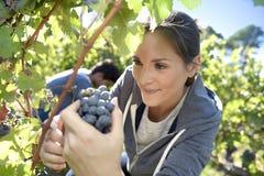 Closeup av kvinnaplockningdruvor i vingård royaltyfri bild