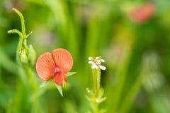 Closeup av lösa blommor av fältet Arkivfoto