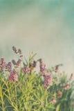 Closeup av lavendelblommor med tappningfärg Royaltyfri Bild