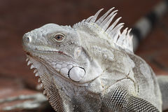 Closeup av leguanen - Bonaire royaltyfri bild