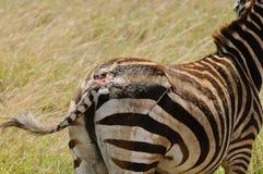 Closeup av lejonattack på en sebra för Burchell ` s Royaltyfria Bilder