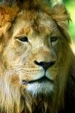 Closeup av lejonet Royaltyfria Bilder