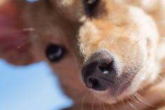 Closeup av liten hunds näsa och nos i fokus arkivfoto