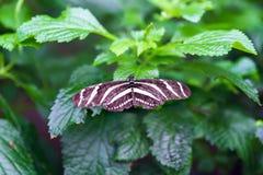 Closeup av longwing fjärilssammanträde för sebra på bladet Arkivbilder