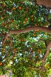 Closeup av mandarinträdet. Barcelona. Arkivfoton