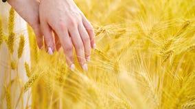 Closeup av manicured kvinnliga händer som trycker på moget vete i fält med fritt utrymme lager videofilmer