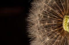 Closeup av maskrosen - naturlig bakgrund Arkivfoton