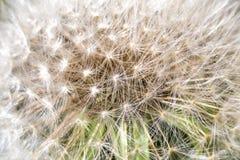 Closeup av maskrosfrö Arkivfoton