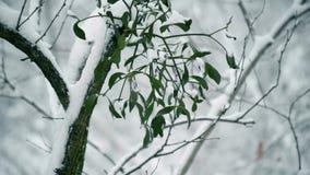 Closeup av mistel i snöig skog stock video