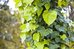 Closeup av murgrönan i trät Fotografering för Bildbyråer