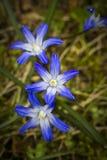 Closeup av någon blå Scilla bifolia Royaltyfri Foto