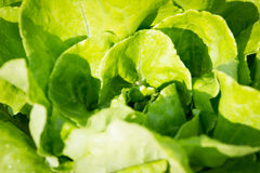 Closeup av ny grön grönsallat Arkivfoton