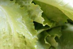 Closeup av ny grön grönsallat med vattendroppar royaltyfria foton