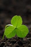 Closeup av nya groddar av gräsväxt av släktet Trifolium Symbolet av holien Arkivbilder
