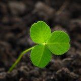 Closeup av nya groddar av gräsväxt av släktet Trifolium Symbolet av holien Royaltyfria Bilder