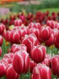 Closeup av nyanserade röda tulpanblommor royaltyfria bilder