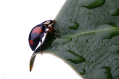 Closeup av nyckelpigan på leafen Royaltyfri Bild
