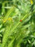 Closeup av nyckelpigan på växten Arkivfoton
