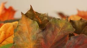 Closeup av olika färgade Autumn Leaves mot en ljus bakgrund royaltyfria foton