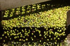 Closeup av oliv i en olivoljamaskin Royaltyfria Bilder