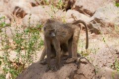 Closeup av Olive Baboons Arkivbild