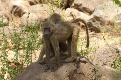 Closeup av Olive Baboons Royaltyfria Bilder