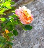 Closeup av orange Rose Lit vid solen arkivfoton