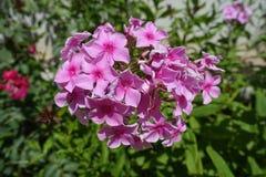 Closeup av panicle av rosa blommor av floxpaniculataen Arkivfoton