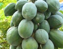 Closeup av papayaträdet Royaltyfria Foton