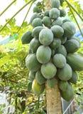 Closeup av papayaträdet Arkivfoto