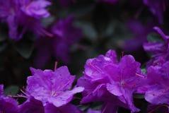 Closeup av purpurfärgade azaleor Royaltyfri Foto