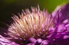 Closeup av purpurfärgade kronblad för blommaträdgård Royaltyfri Bild