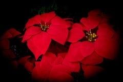 Closeup av röd bakgrund för natur för pulcherrima för julstjärnablommaEuphorbia arkivfoton