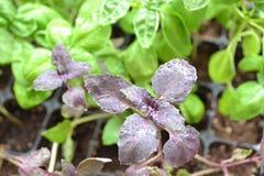 Closeup av röd eller violett basilika Robin Hood Strikt vegetariankokkonst Bakgrund f?r organisk mat Lantbruk jordbruk Medelhavs- arkivfoton