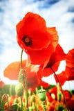 Closeup av röda vallmo Royaltyfria Bilder