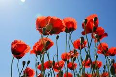 Closeup av röda vallmo på blå himmel och solsken bright1 Arkivfoton