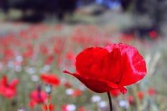 Closeup av röda vallmo på sädesslag field1 Royaltyfri Foto