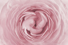 Closeup av ranunculusen för bakgrund, härlig vårblomma, blom- modell för tappning Royaltyfria Foton