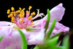 Closeup av rosa färger Royaltyfri Bild
