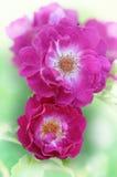Closeup av rosa färgrosblomningar Arkivfoto