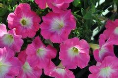 Closeup av rosa petunior med vit- och gulingmitt arkivfoto