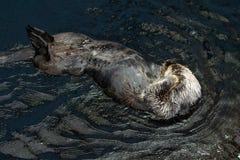 Closeup av simning för havsutter på dess baksida i Lissabon Oceanarium arkivfoto